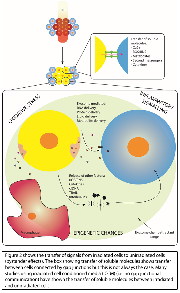 Transfer of signals from irradiated cells to unirradiated cells (bystander effects)
