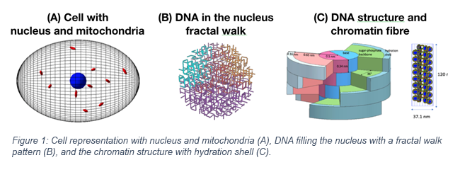 Cell representation with nucleus and mitochondria (A), DNA filling the nucleus with a fractal walk pattern (B), and the chromatin structure with hydration shell (C).