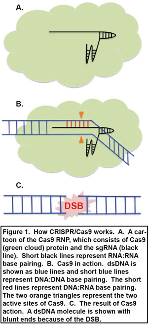 How CRISPR/Cas9 works